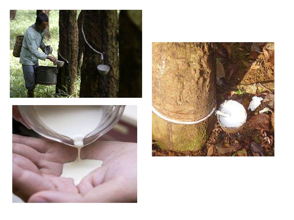Tanaman karet di Kalimantan Timur komoditi tradisional Relatif lama diusahakan sebagai perkebunan rakyat Sumber mata pencaharian utama masyarakat