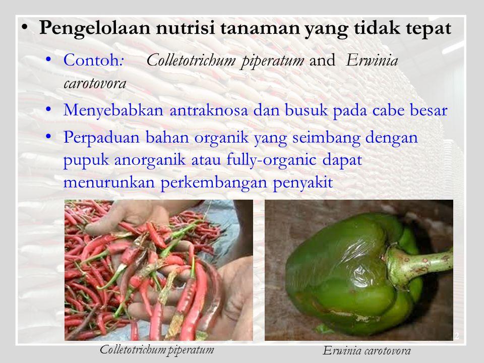 Pengelolaan nutrisi tanaman yang tidak tepat Contoh: Colletotrichum piperatum and Erwinia carotovora Menyebabkan antraknosa dan busuk pada cabe besar