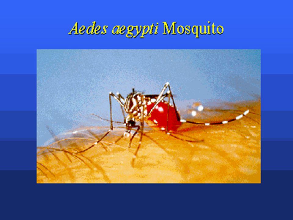 Vektor Aedes aegypti