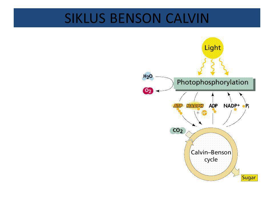 SIKLUS BENSON CALVIN