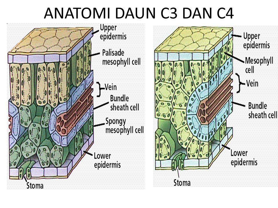ANATOMI DAUN C3 DAN C4