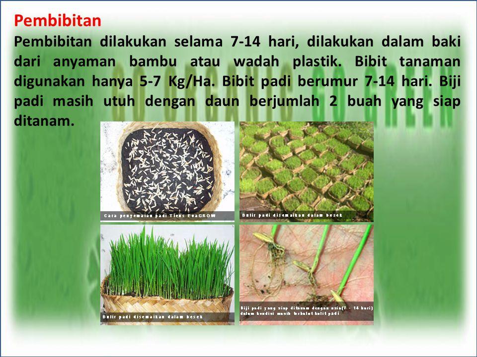 Pembibitan Pembibitan dilakukan selama 7-14 hari, dilakukan dalam baki dari anyaman bambu atau wadah plastik. Bibit tanaman digunakan hanya 5-7 Kg/Ha.
