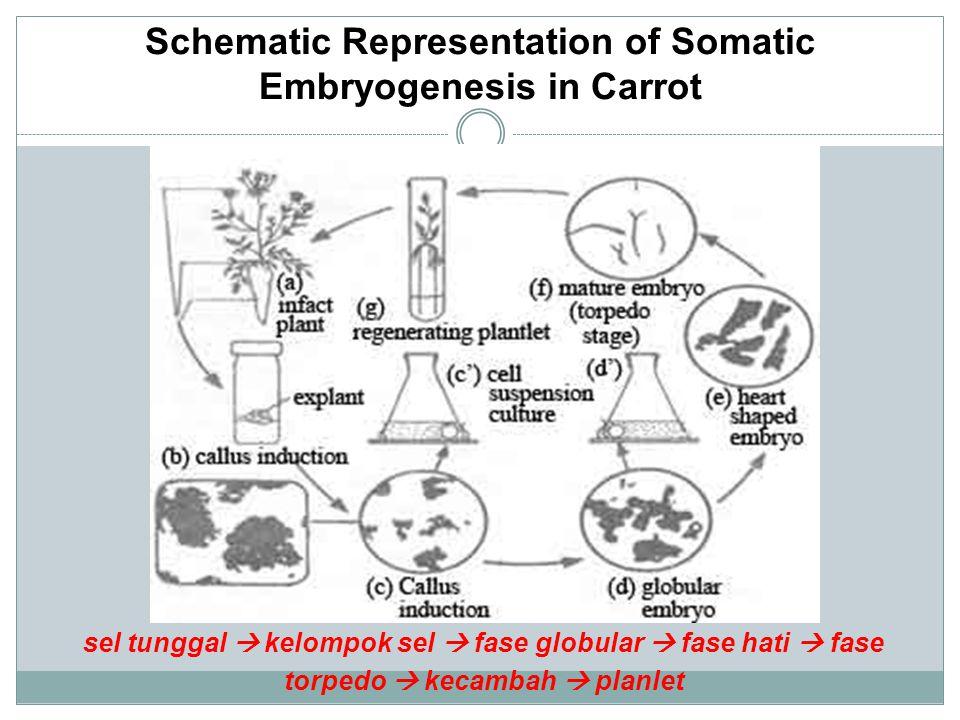 Schematic Representation of Somatic Embryogenesis in Carrot sel tunggal  kelompok sel  fase globular  fase hati  fase torpedo  kecambah  planlet