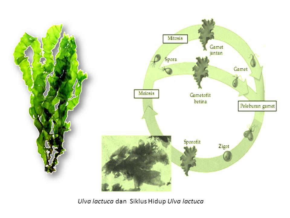 Ulva lactuca dan Siklus Hidup Ulva lactuca