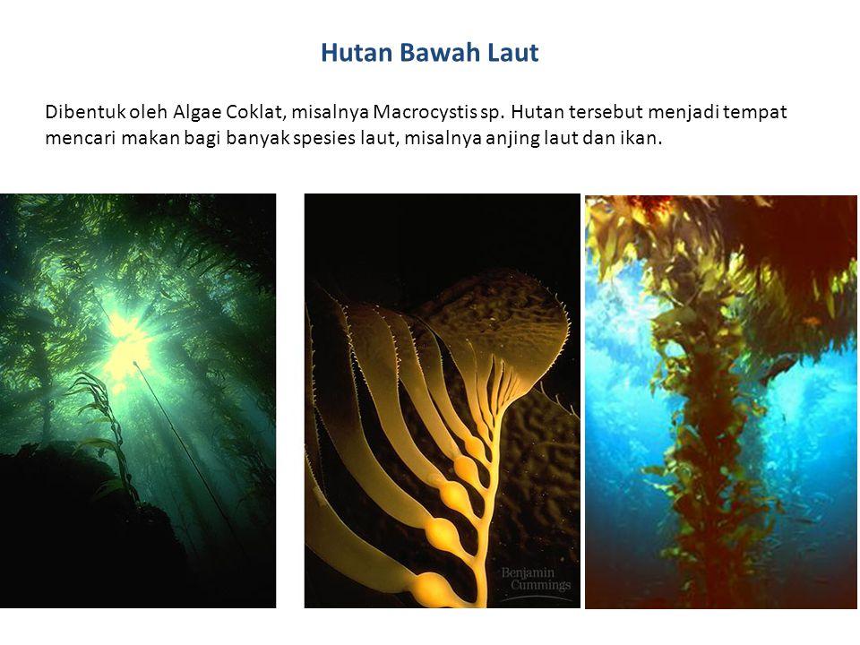 Hutan Bawah Laut Dibentuk oleh Algae Coklat, misalnya Macrocystis sp.