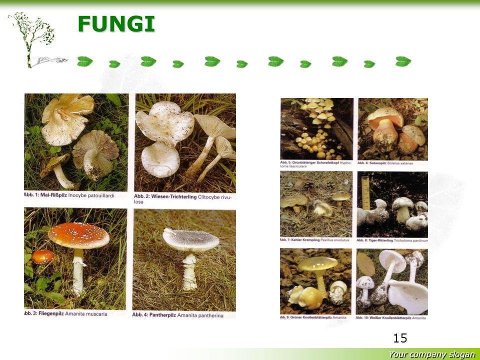 Your company slogan 14 FUNGI Istilah : Fungus (singular) Fungi (plural) = Jamur Fungi (plural) = Jamur Kapang (mould) Ragi (Yeast = khamir) Jamur besa