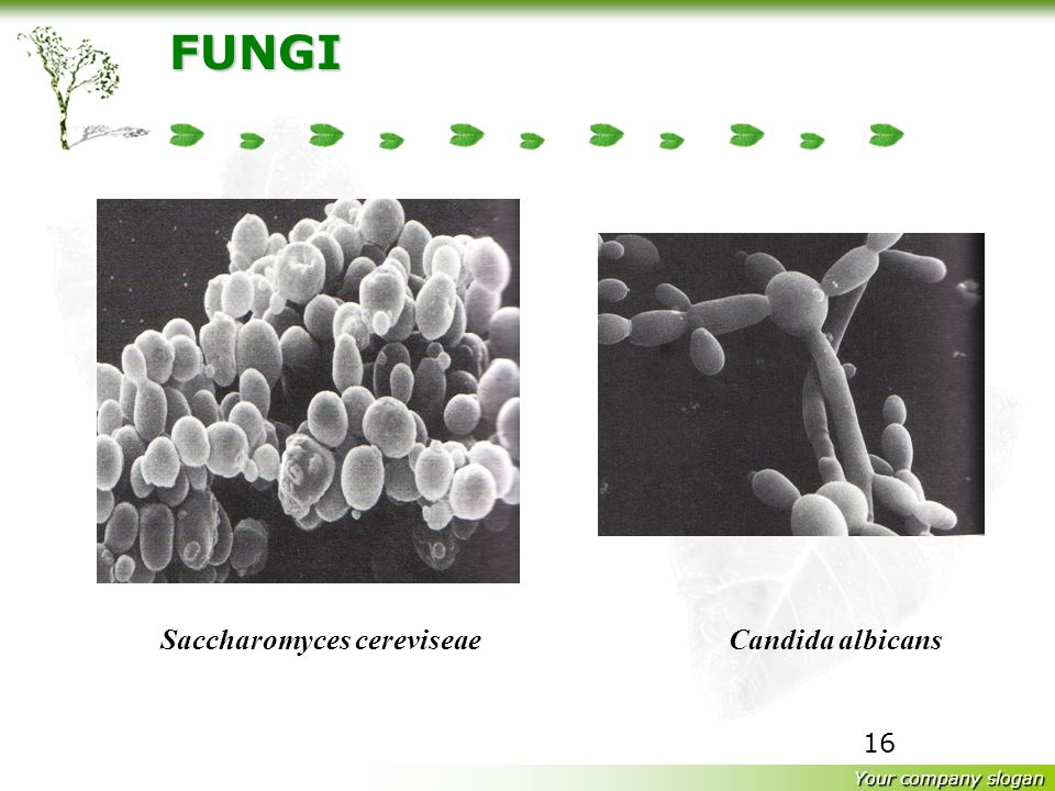 Your company slogan 15 FUNGI