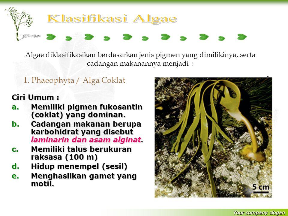 Your company slogan Ciri Umum : a.M emiliki pigmen fukosantin (coklat) yang dominan.