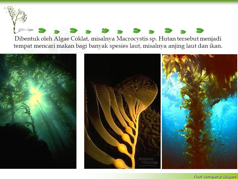 Your company slogan Hutan Bawah Laut Dibentuk oleh Algae Coklat, misalnya Macrocystis sp.