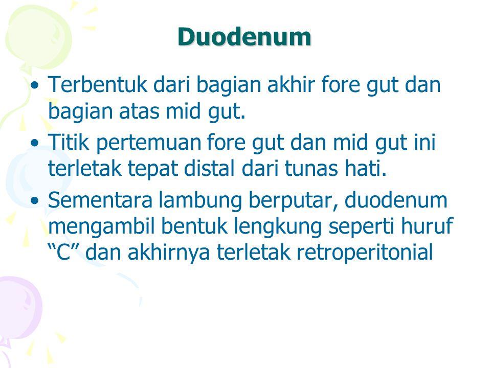 Duodenum Terbentuk dari bagian akhir fore gut dan bagian atas mid gut. Titik pertemuan fore gut dan mid gut ini terletak tepat distal dari tunas hati.