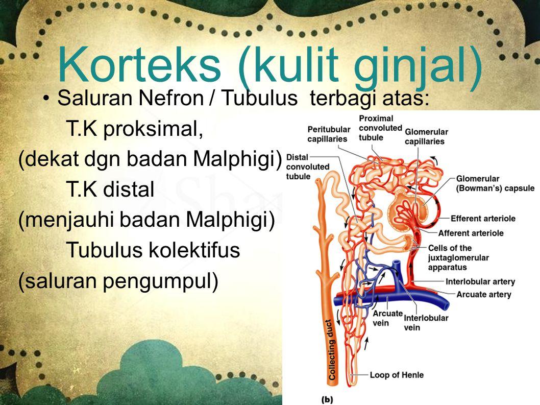 Korteks (kulit ginjal) Mengandung jutaan unit penyaring darah = nefron Nefron terdiri dari badan Malphigi dan tubulus Badan Malphigi terdiri dari glom