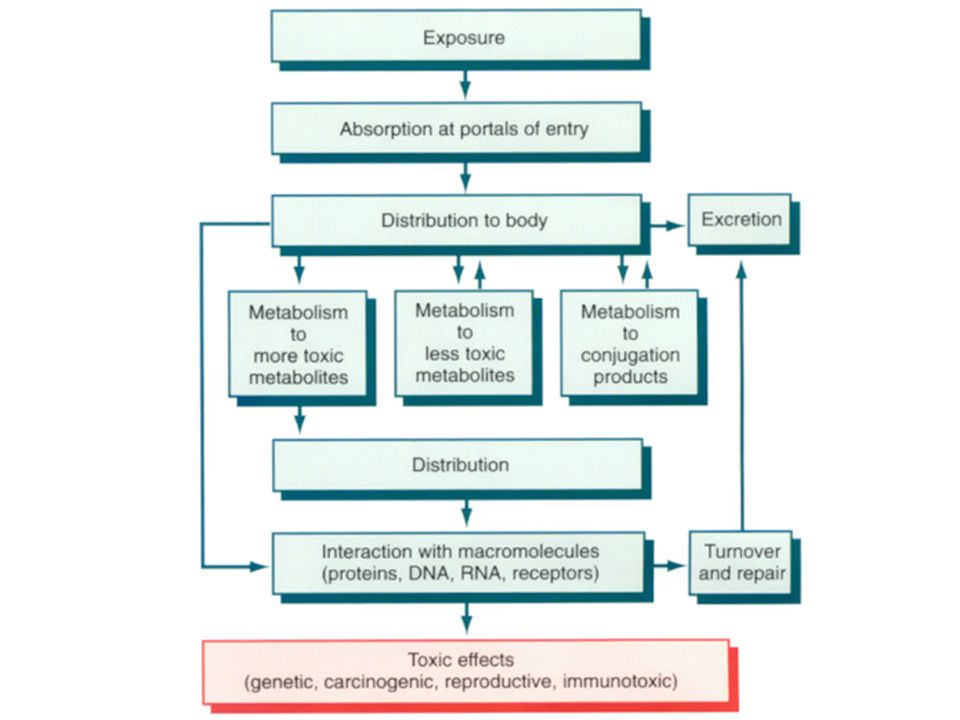 Carcinogensis Insufficient function of various repair mechanisms – Failure of DNA repair Toxins may cause DNA adducts, strand breakage, oxidation Mutation of proto-oncogenes – Proteins needed to control cell cycle – Failure of apoptosis Promotion of mutation and continued growth of damaged cells – Failure to terminate cell proliferation Tumor formation