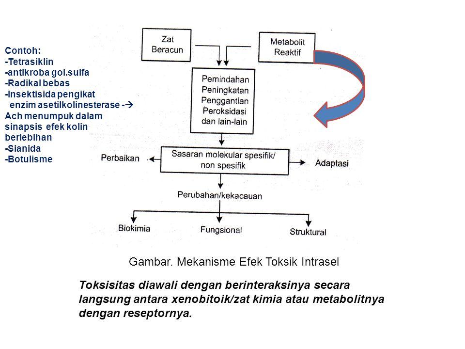 Gambar. Mekanisme Efek Toksik Intrasel Toksisitas diawali dengan berinteraksinya secara langsung antara xenobitoik/zat kimia atau metabolitnya dengan