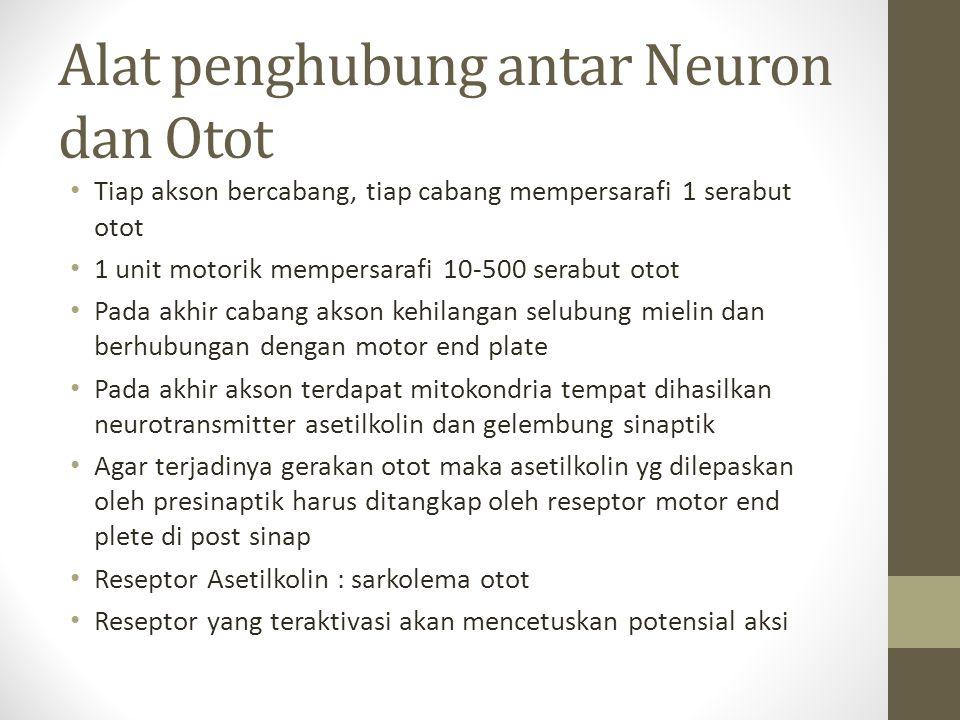 Alat penghubung antar Neuron dan Otot Tiap akson bercabang, tiap cabang mempersarafi 1 serabut otot 1 unit motorik mempersarafi 10-500 serabut otot Pa