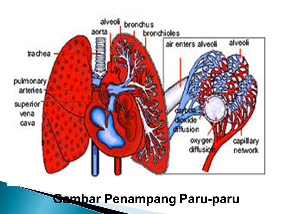 merupakan alat pernafasan dan sekaligus alat ekskresi Paru - paru Fungsi paru - paru Mengeluarkan zat sisa yaitu CO 2, dan Uap air