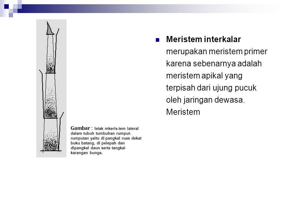 Meristem sekunder, meristem sekunder adalah meristem yang berasal dari jaringan yang telah mengadakan diferensiasi contohnya kambium dan kambium gabus.