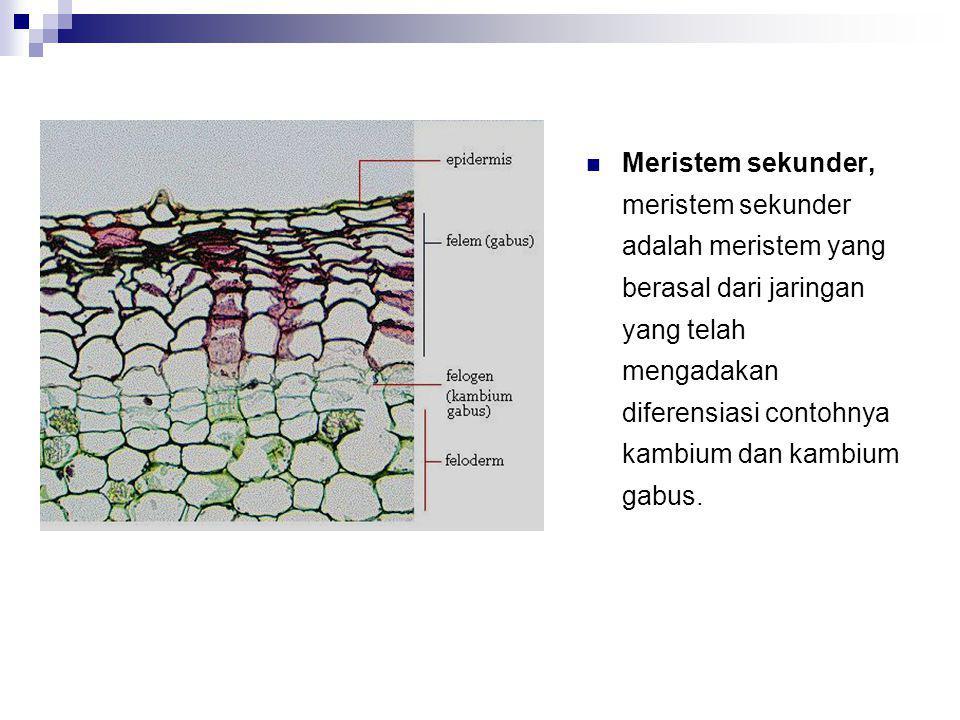 Kambium Kambium terbentuk dari bagian prokambium yang tidak berdiferensiasi menjadi berkas pengangkut dan tetap mempertahankan sifat meristematiknya Kambium umumnya terdiri dari 2 tipe sel, yaitu:  Sel fusiform, sel ini bentuknya memanjang dengan ujung-ujung me- runcing.