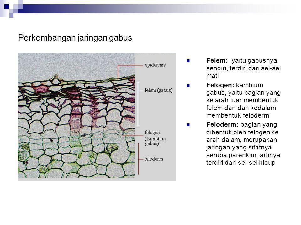Pada akhir perkembangannya jaringan gabus dapat berfungsi sebagai ritidom yang melindungi bagian luar batang