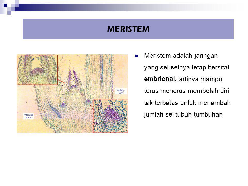 MERISTEM Meristem adalah jaringan yang sel-selnya tetap bersifat embrional, artinya mampu terus menerus membelah diri tak terbatas untuk menambah juml