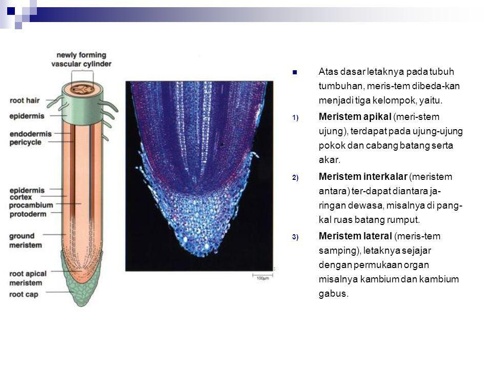  Meristem primer : meristem yang sel-selnya berkembang lang-sung dari sel-sel embrional sehingga merupakan lanjutan dari pertumbuhan embrio, misalnya kuncup ujung batang.