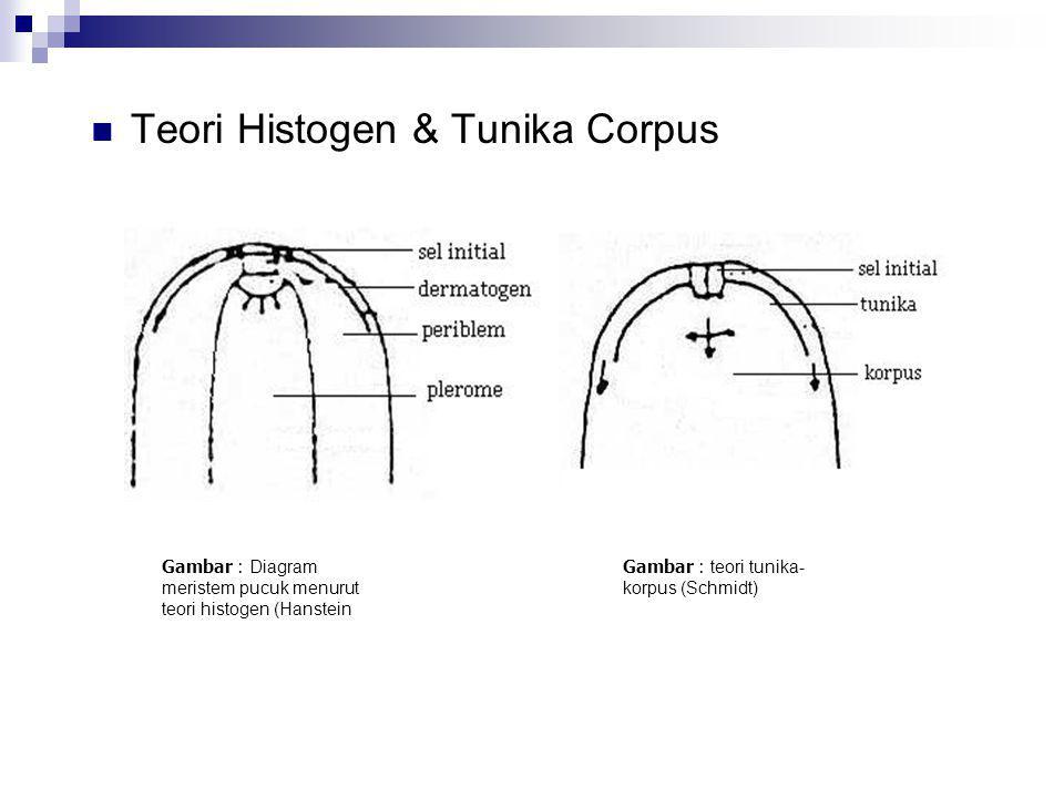 Teori Histogen & Tunika Corpus Teori histogen dari hanstein.