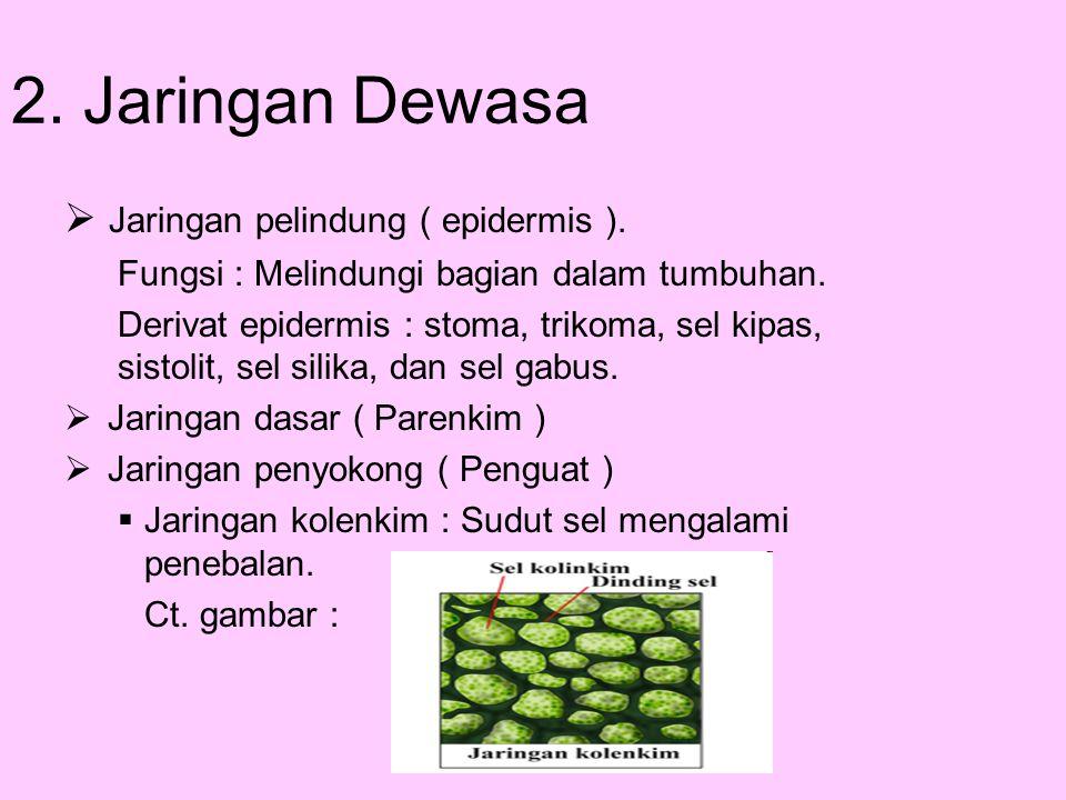 2. Jaringan Dewasa  Jaringan pelindung ( epidermis ). Fungsi : Melindungi bagian dalam tumbuhan. Derivat epidermis : stoma, trikoma, sel kipas, sisto