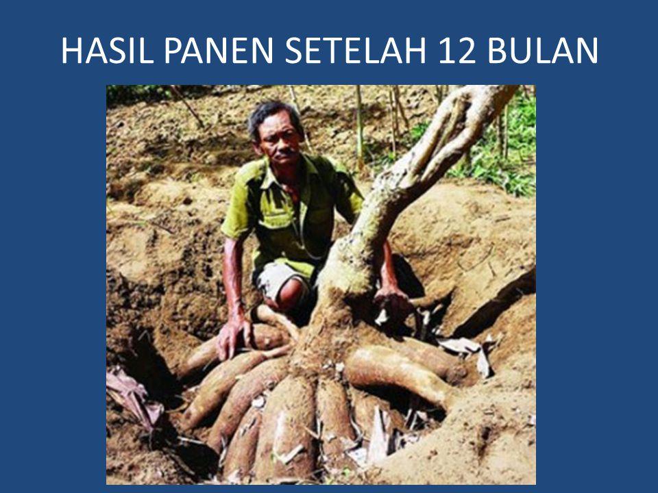 HASIL PANEN SETELAH 12 BULAN
