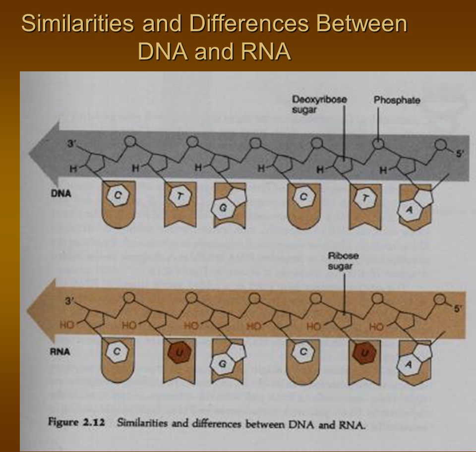 Similarities and Differences Between DNA and RNA