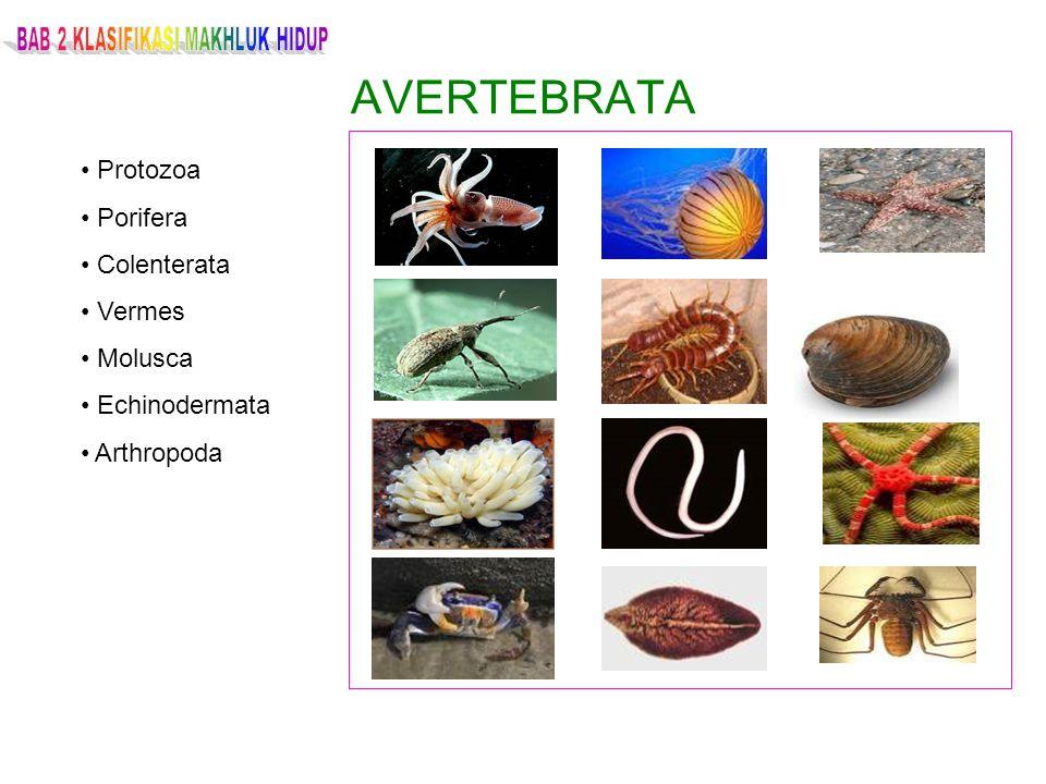 AVERTEBRATA Protozoa Porifera Colenterata Vermes Molusca Echinodermata Arthropoda