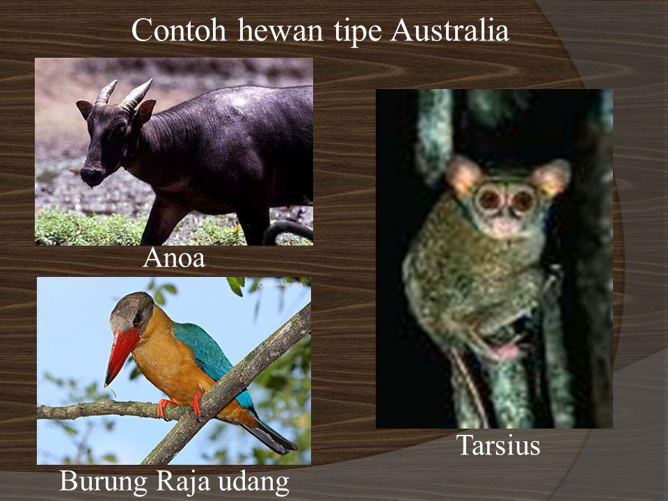 Contoh hewan tipe Australia Anoa Burung Raja udang Tarsius