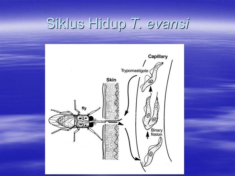 Siklus Hidup T. evansi