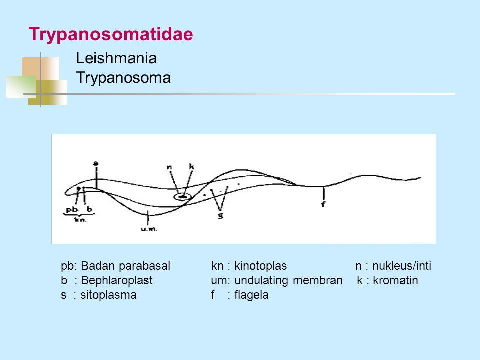 Trypanosomatidae Leishmania Trypanosoma pb: Badan parabasal kn : kinotoplas n : nukleus/inti b : Bephlaroplast um: undulating membran k : kromatin s :