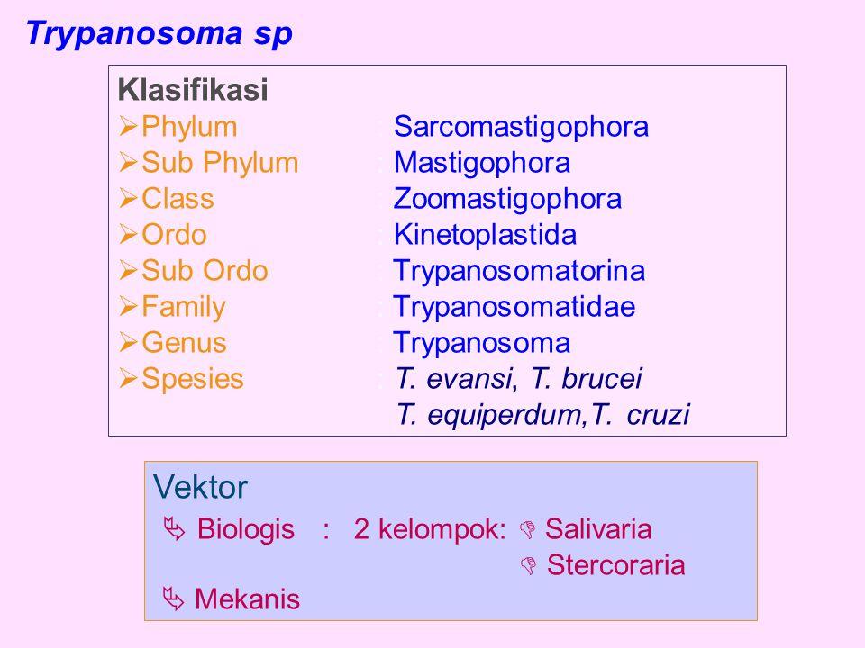 Trypanosoma sp Klasifikasi  Phylum: Sarcomastigophora  Sub Phylum: Mastigophora  Class: Zoomastigophora  Ordo: Kinetoplastida  Sub Ordo: Trypanos