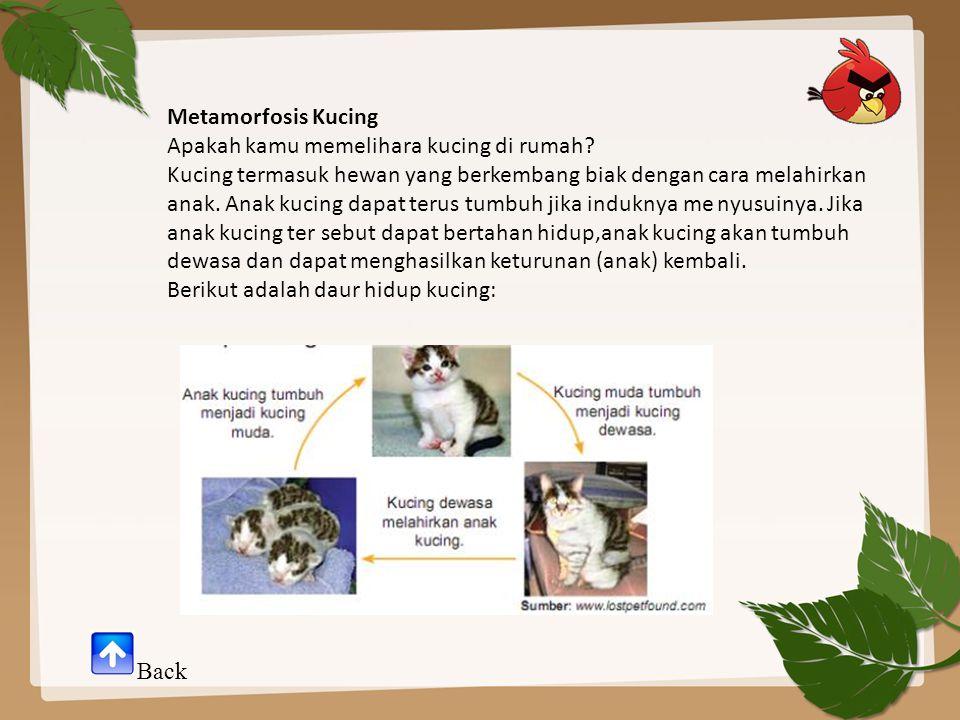 Metamorfosis Kucing Apakah kamu memelihara kucing di rumah? Kucing termasuk hewan yang berkembang biak dengan cara melahirkan anak. Anak kucing dapat