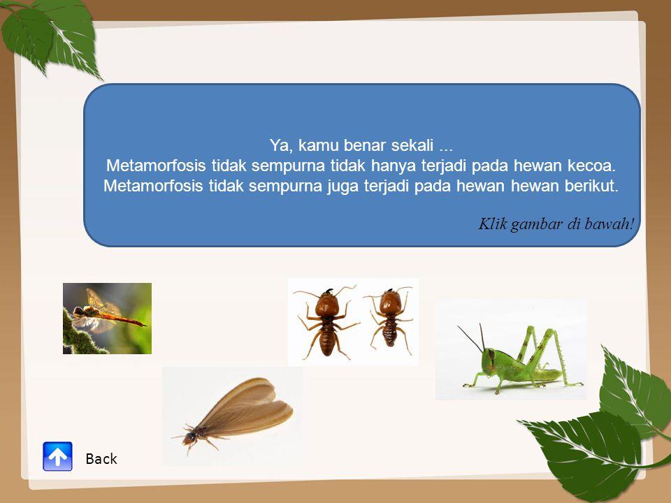 Ya, kamu benar sekali... Metamorfosis tidak sempurna tidak hanya terjadi pada hewan kecoa. Metamorfosis tidak sempurna juga terjadi pada hewan hewan b