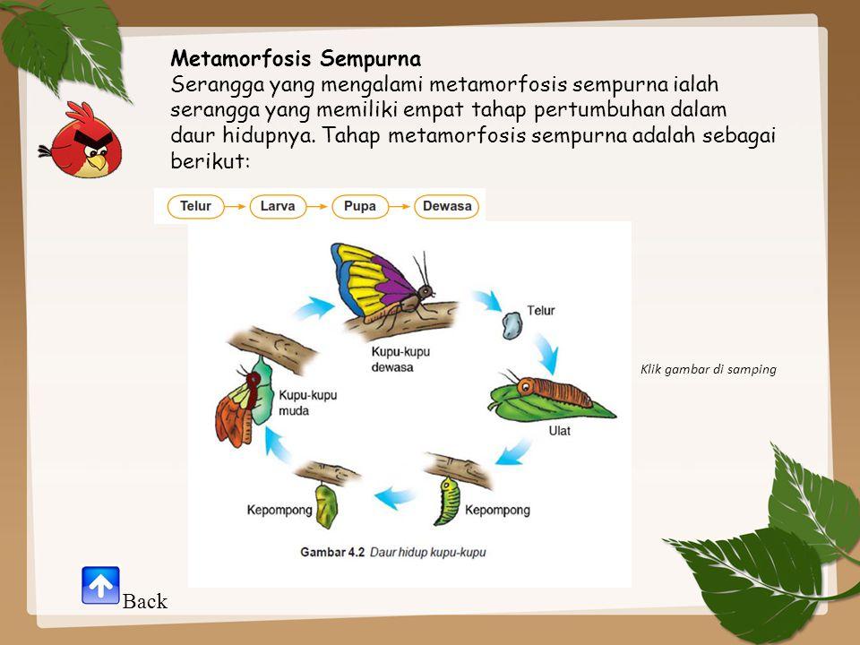 Metamorfosis Sempurna Serangga yang mengalami metamorfosis sempurna ialah serangga yang memiliki empat tahap pertumbuhan dalam daur hidupnya. Tahap me