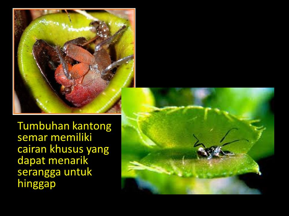 Tumbuhan kantong semar memiliki cairan khusus yang dapat menarik serangga untuk hinggap
