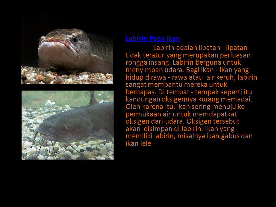 Labirin Pada Ikan Labirin adalah lipatan - lipatan tidak teratur yang merupakan perluasan rongga insang.
