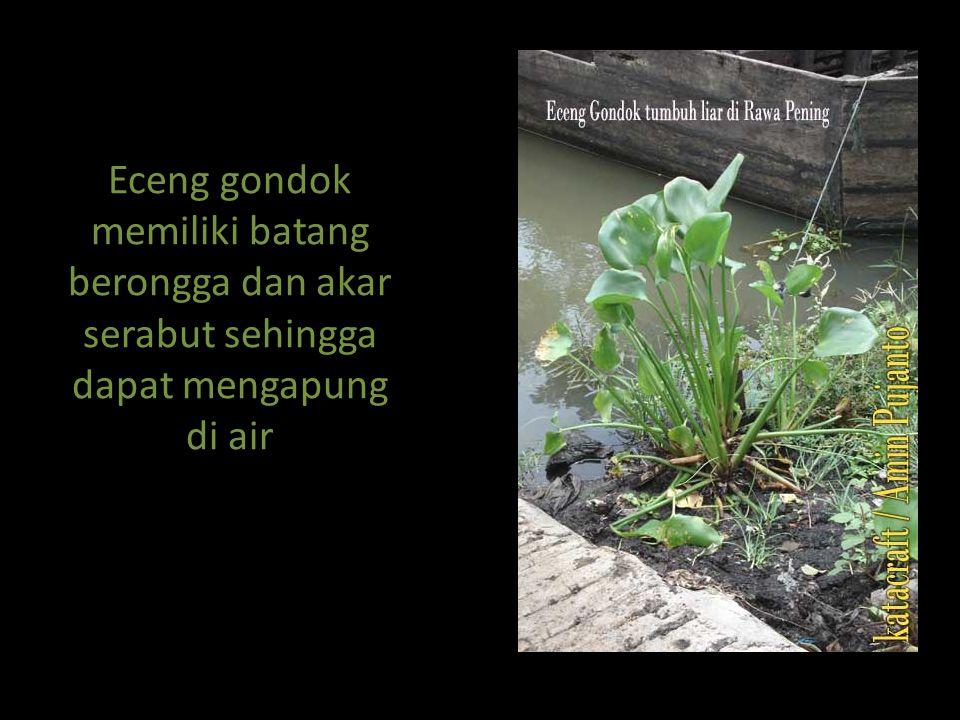 Eceng gondok memiliki batang berongga dan akar serabut sehingga dapat mengapung di air