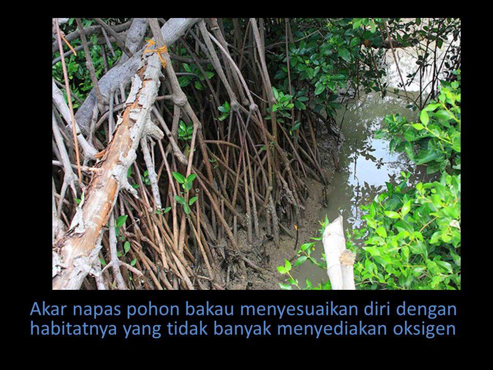 Akar napas pohon bakau menyesuaikan diri dengan habitatnya yang tidak banyak menyediakan oksigen