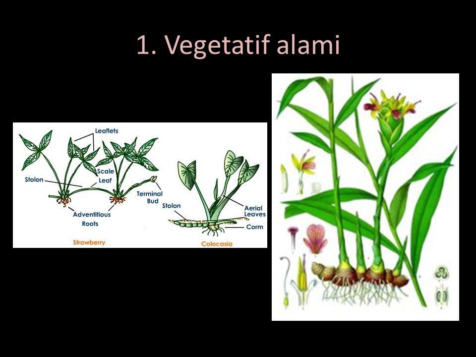 1. Vegetatif alami