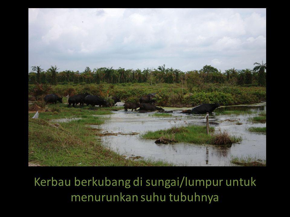 Kerbau berkubang di sungai/lumpur untuk menurunkan suhu tubuhnya