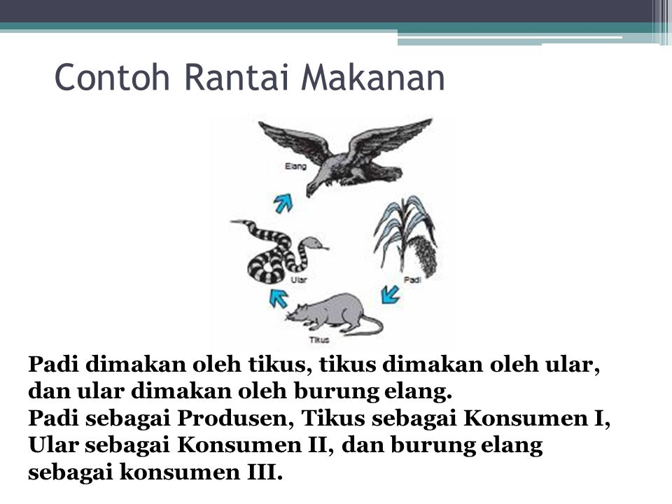 Rantai Makanan Rantai makanan adalah hubungan yang menggambarkan peristiwa makan memakan antara makhluk hidup.