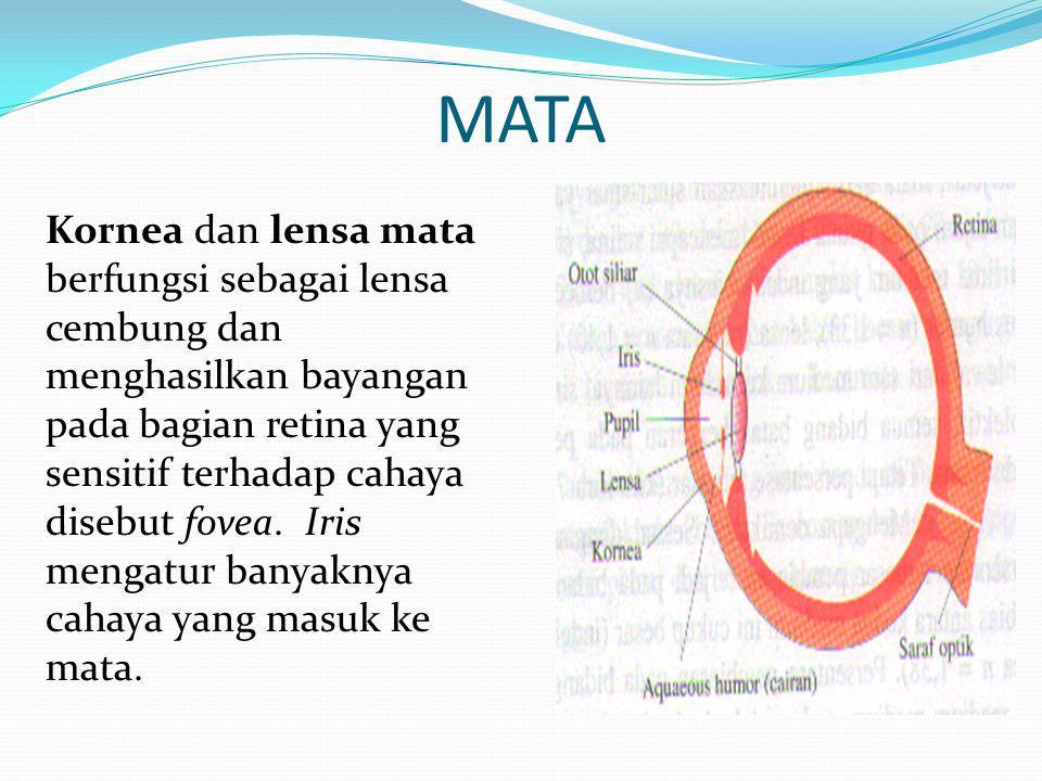 MATA Kornea dan lensa mata berfungsi sebagai lensa cembung dan menghasilkan bayangan pada bagian retina yang sensitif terhadap cahaya disebut fovea.