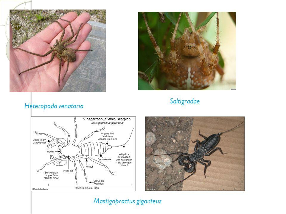 Heteropoda venatoria Saltigradae Mastigopractus giganteus