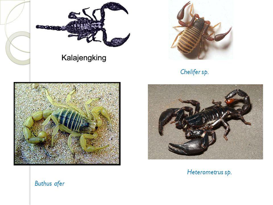 Chelifer sp. Buthus afer Heterometrus sp.