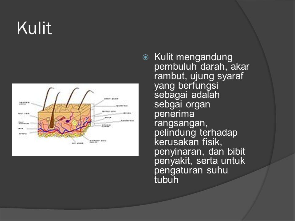 Kulit  Kulit mengandung pembuluh darah, akar rambut, ujung syaraf yang berfungsi sebagai adalah sebgai organ penerima rangsangan, pelindung terhadap