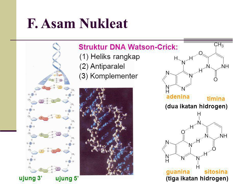 F. Asam Nukleat Struktur DNA Watson-Crick: (1) Heliks rangkap (2) Antiparalel (3) Komplementer ujung 3' ujung 5' timina adenina (dua ikatan hidrogen)