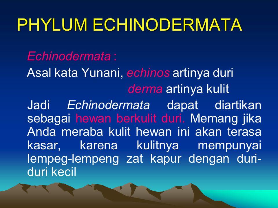 PHYLUM ECHINODERMATA Echinodermata : Asal kata Yunani, echinos artinya duri derma artinya kulit Jadi Echinodermata dapat diartikan sebagai hewan berku