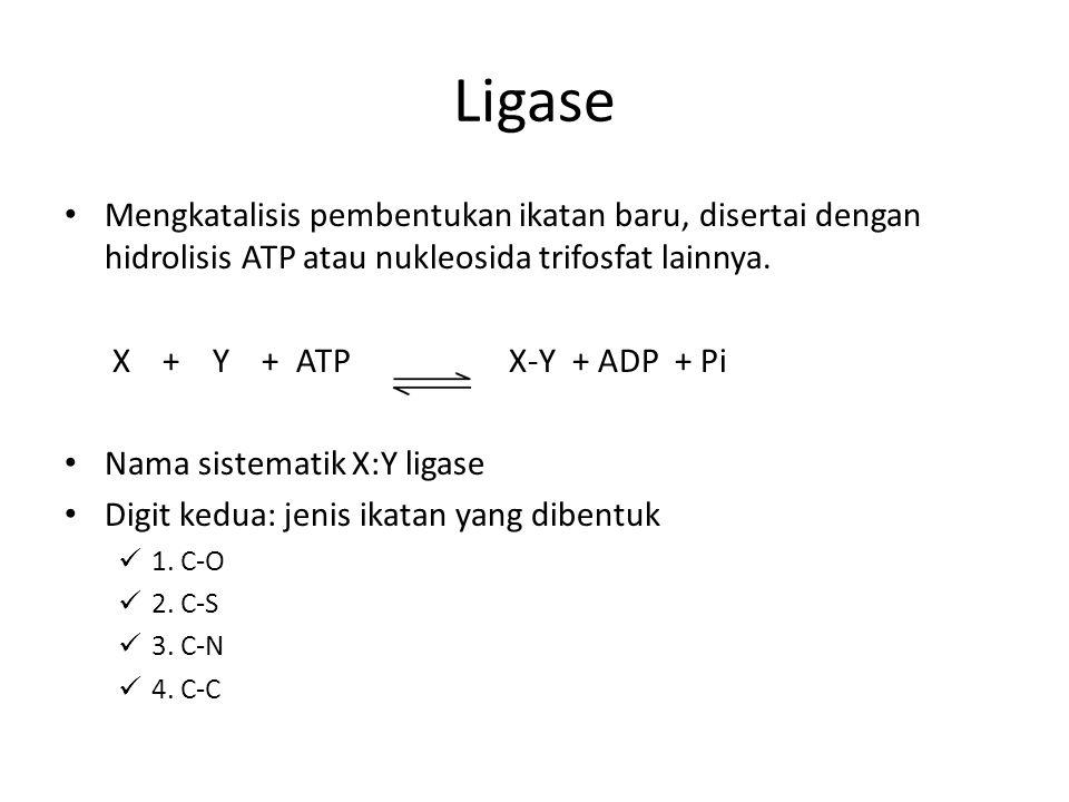 Ligase Mengkatalisis pembentukan ikatan baru, disertai dengan hidrolisis ATP atau nukleosida trifosfat lainnya. X + Y + ATP X-Y + ADP + Pi Nama sistem